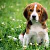Beagle fields forever