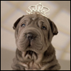 Sharpei wearing a tiara