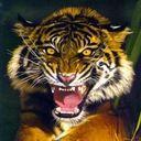 tigers lions avatars 0661
