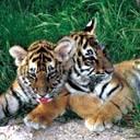 tigers lions avatars 1242