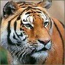 tigers lions avatars 2022
