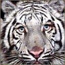 tigers lions avatars 2106